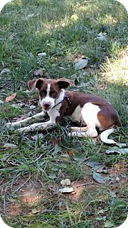 Spaniel (Unknown Type)/Beagle Mix Puppy for adoption in Baltimore, Maryland - Lance
