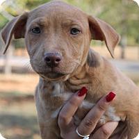 Adopt A Pet :: Scarlet - Pending - East Dover, VT