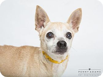 Chihuahua Dog for adoption in Franklin, Tennessee - FINN