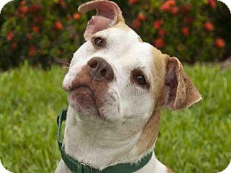 American Bulldog Mix Dog for adoption in West Palm Beach, Florida - BRIN