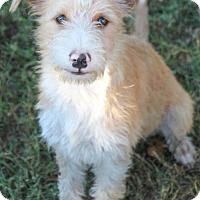 Adopt A Pet :: Popcorn - Pipe Creed, TX