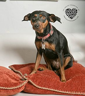 Miniature Pinscher Mix Dog for adoption in Inglewood, California - Lily