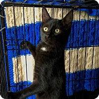Domestic Shorthair Kitten for adoption in Smithtown, New York - Cedric