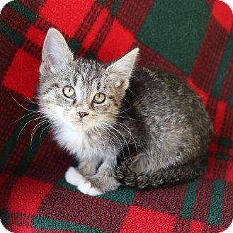 Domestic Shorthair Cat for adoption in Yucaipa, California - Carla