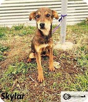 Labrador Retriever Mix Puppy for adoption in DeForest, Wisconsin - Skylar