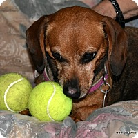 Adopt A Pet :: Dot, 13 pds, 7 yrs, $300 fee - Spokane, WA