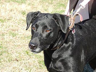 Labrador Retriever Dog for adoption in Norfolk, Virginia - STAR