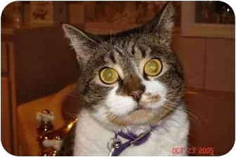 Domestic Shorthair Cat for adoption in Newburgh, New York - AMBER