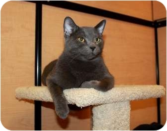 Domestic Shorthair Cat for adoption in Nolensville, Tennessee - Jacob