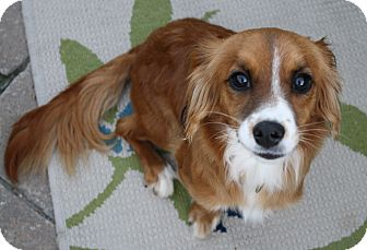 Dachshund/Terrier (Unknown Type, Small) Mix Dog for adoption in san diego, California - Fiona