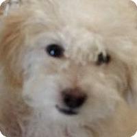 Adopt A Pet :: Mickey - non shed! - Phoenix, AZ