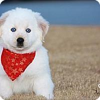 Adopt A Pet :: Snow - Albany, NY