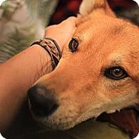 Adopt A Pet :: Shentea - Ashland, OR