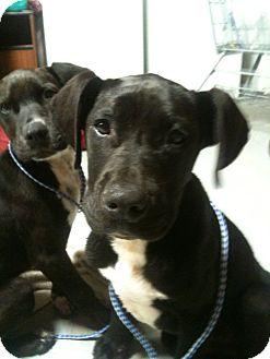 Labrador Retriever Mix Puppy for adoption in Southington, Connecticut - Scoular