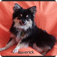 Adopt A Pet :: Maverick - Escondido, CA