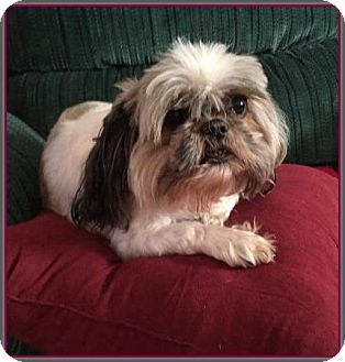 shih tzu rescue va hton va shih tzu meet gidget a dog for adoption 7950