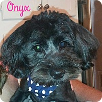 Adopt A Pet :: Onyx - House Springs, MO