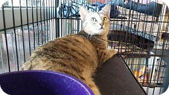 Domestic Shorthair Cat for adoption in Woodstock, Georgia - Minerva