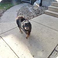 Adopt A Pet :: Sydney - Wyanet, IL