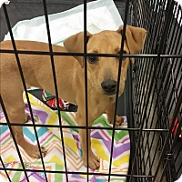 Whippet/Terrier (Unknown Type, Small) Mix Puppy for adoption in Plymouth, New Hampshire - Benny