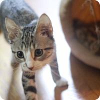 Adopt A Pet :: Atlas - Potomac, MD