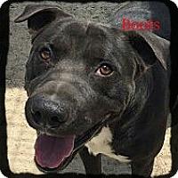 Adopt A Pet :: Boots - Old Saybrook, CT