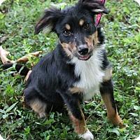 Adopt A Pet :: Basil (Dols) - Washington, DC