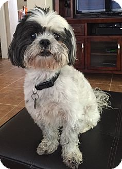 Shih Tzu Mix Dog for adoption in Temecula, California - Shadow