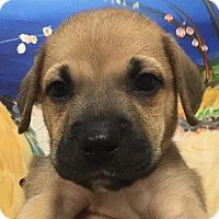Adopt A Pet :: Schroeder - Ft. Lauderdale, FL