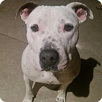 Adopt A Pet :: Butch (DENVER) - Fort Collins, CO