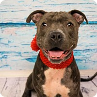 Adopt A Pet :: 1608-1536 Izzy (aka Monkey) - Virginia Beach, VA