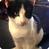 Adopt A Pet :: A Farewell to Paws: Ernest Hemingway, kitten! - Brooklyn, NY