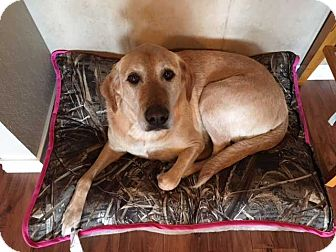 Labrador Retriever Dog for adoption in San Angelo, Texas - Bella