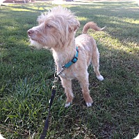 Adopt A Pet :: Scrappy - Las Vegas, NV