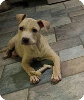 Pit Bull Terrier Mix Puppy for adoption in Columbus, Ohio - Libby