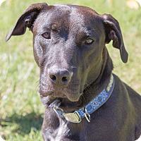 Labrador Retriever Mix Dog for adoption in Monroe, North Carolina - Mason