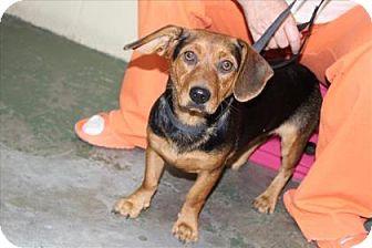 Beagle Mix Dog for adoption in Woodstock, Illinois - Alex