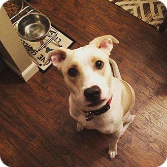 Labrador Retriever Mix Dog for adoption in Enfield, Connecticut - Kiba
