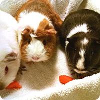 Adopt A Pet :: Sarah, Michelle, Gellar - Hazel Park, MI