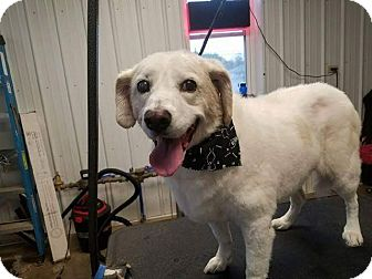 Spaniel (Unknown Type)/Beagle Mix Dog for adoption in cicero, New York - Amber
