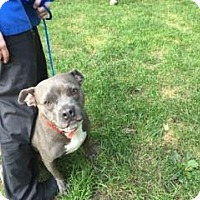 Pit Bull Terrier Mix Dog for adoption in University Park, Illinois - Juniper