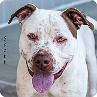 American Bulldog/Pointer Mix Dog for adoption in Dallas, Texas - Scottie