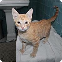 Domestic Shorthair Cat for adoption in Philadelphia, Pennsylvania - Simon