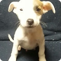 Boxer Mix Puppy for adoption in Southington, Connecticut - Phineas