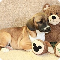 Pug/Beagle Mix Puppy for adoption in Hagerstown, Maryland - Oprah