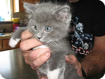 Domestic Shorthair Kitten for adoption in Fallon, Nevada - Sammie