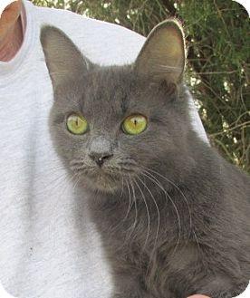 Germantown, MD - Russian Blue. Meet Fallon a Kitten for ...