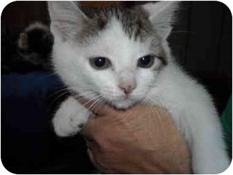 Domestic Shorthair Kitten for adoption in Riverside, Rhode Island - Bridgette
