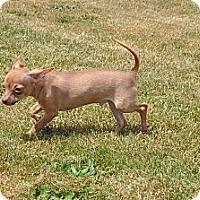Adopt A Pet :: Ringo - Tumwater, WA