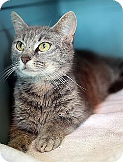 Domestic Shorthair Cat for adoption in Fairfax Station, Virginia - Candy Mom